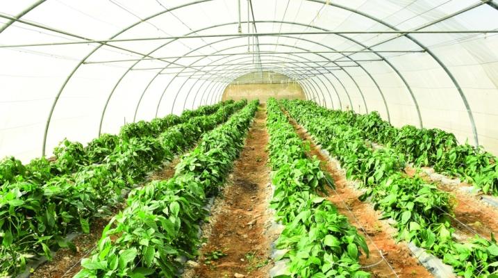 الزراعة في البيوت المحمية